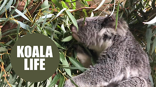 Scientists Down Under crack the genetic code of koala bears - Video
