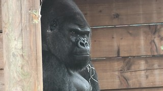 Grumpy Silverback Gorilla deals with super annoying son