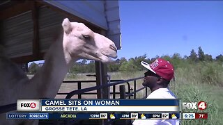 Camel sits on woman in Louisiana