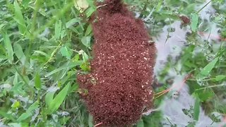 Floating Colonies of Fire Ants Spotted in Houston Floodwaters - Video