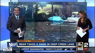 Bear takes a dip in Deep Creek Lake - Video