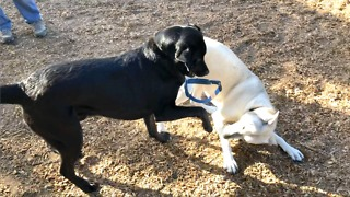 Playful dog friend swipes off Bruce's collar and tosses it to the ground  - Video