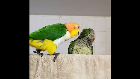 Funny birds taking a shower
