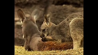 Cute Baby Kangaroo - Video