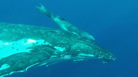 Mother humpback brings her newborn baby to inspect delighted swimmers