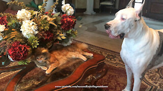 Funny Great Danes Check Out Cat In Halloween Lion Costume