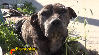 Abandoned Pit Bull gets left to die under a bridge - here's his story - Video