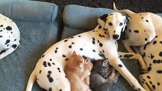 Dalmatians Nap With Litter Of Foster Kittens - Video