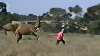 Wild Video: Camel Kicks And Chases Woman - Video