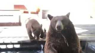 Bear Family Relaxes in California Back Yard While Dog Barks Furiously - Video