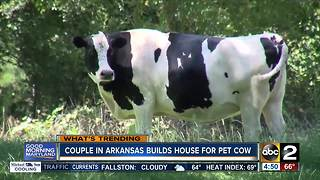 Arkansas couple builds house for pet cow - Video