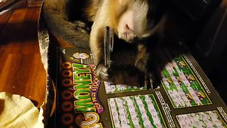 Talented monkey learns to write with a pen