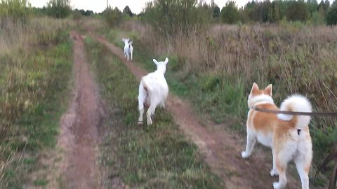 Dog, Cat And Goats Enjoy Taking A Walk Together