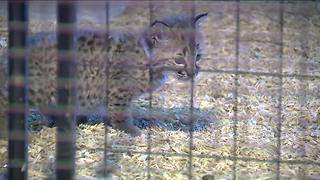 Baby lynx returned to Delavan petting zoo - Video