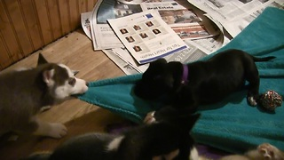Husky Puppy Gives Great Dane Puppy a Blanket Ride!  - Video