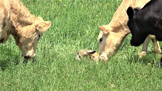 Cows bellow in excitement when mother gives birth to a calf