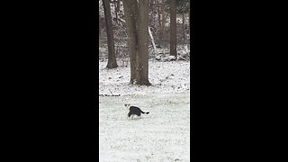 Snow-loving cat jumps to catch snowflakes