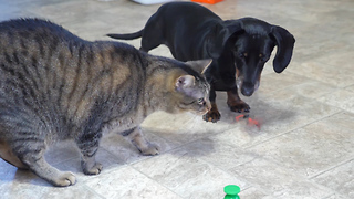 This Wiener Dog Is Fascinated By A Cat Toy - Video