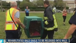 A rehabilitated bald eagle will be released into the wild on Tuesday - Video