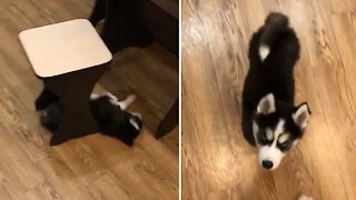 Husky puppy only reacts to the sound of his food plate