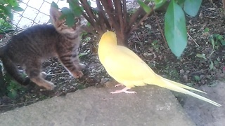 Parrot attempts to befriend cautious kitten - Video