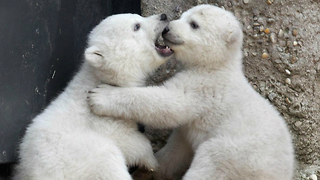 Cute Baby Polar Bear - Video