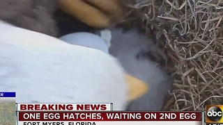 Eagle watch: One egg has hatched, waiting on number two - Video