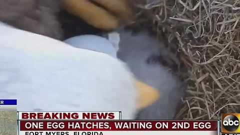 Eagle watch: One egg has hatched, waiting on number two