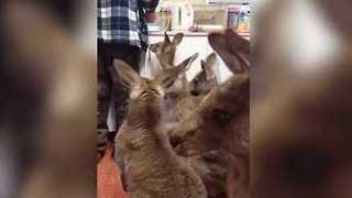 Orphaned Joeys Wrestle and Play While Waiting for Milk Bottles - Video