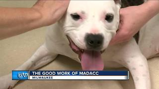 Milwaukee Area Domestic Animal Control Commission prepares for Walk, Run, Wag event in Wauwatosa - Video