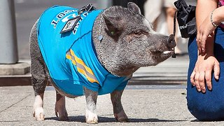 Cute Pet Pig In New York City - Video