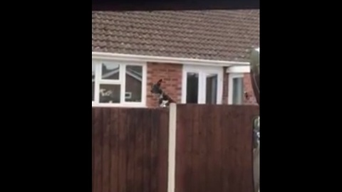 Funny bouncing dog jumps to see over fence