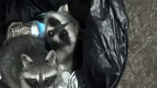 Adorable Raccoons Caught Rummaging in Trash Can - Video