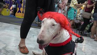 Bizarrely costumed pets at Thai show - Video