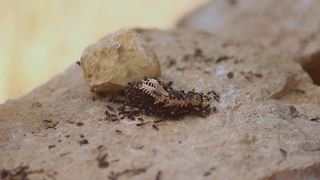 Incredible 4k time lapse featuring feasting ants - Video