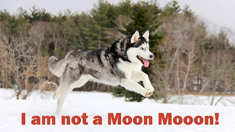 I am not a Moon Moon - Happy Siberian Husky never stop running and chasing on snow.