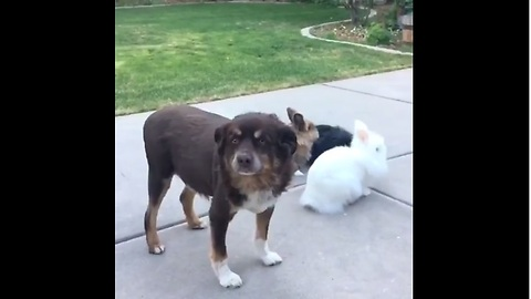 Jealous dog intentionally photobombs bunny video
