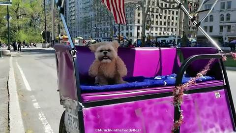 Munchkin the Teddy Bear visits New York City