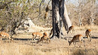 Leopard Attack: Leopard Jumps From Tall Tree To Ambush Impala - Video