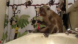 Regal Looking Monkey Enjoys Being Groomed