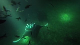 Hawaiian night diving with enormous Manta Rays - Video