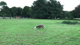 This Might Just Be The Worst Sheepdog In The World - Video