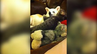 Sleepy Dog Gets Groomed By Cat - Video