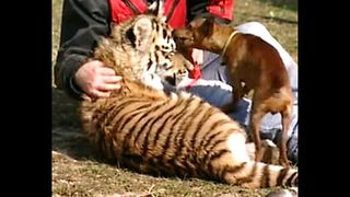 Pinscher Dog Adopts Tiger