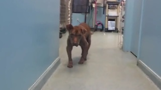 Severely neglected pitbull gets a second chance at life - Video