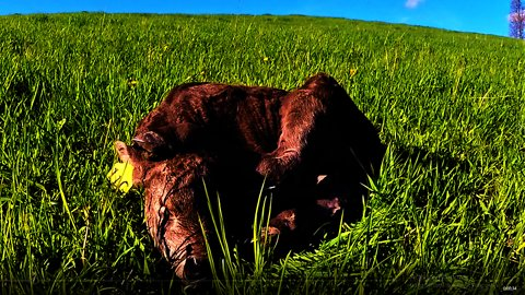 Newborn calf tries to sleep in adorably awkard position
