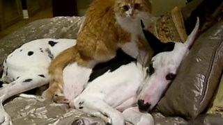 Cat gives Great Dane a loving massage