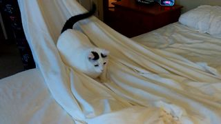 Cat defiantly refuses to give up bed sheets  - Video