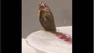 Parrot enters trance while taking shower