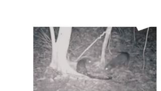 Rare Spotted-Tailed Quoll Couple Delight Researchers With 'Likely' Mating